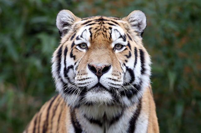 Оказывается, у тигра полосатая не только шерсть, но кожа.