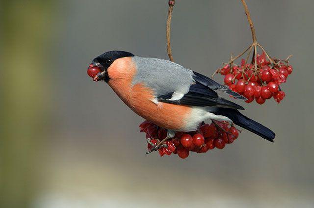 Какая птица ест рябину