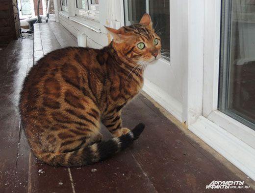 Бенгальская кошка: описание породы, характер и повадки, фото, как ... | 395x520