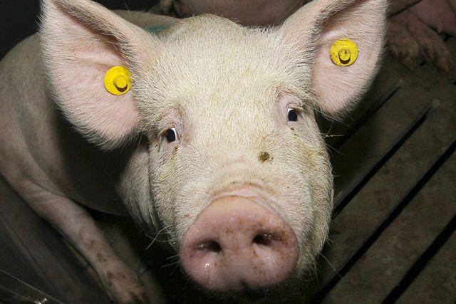 Одна из обитательниц свинофермы.