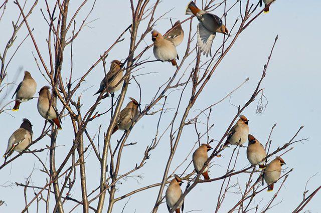 Картинки птиц зимующие в ульяновске