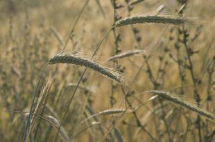 Элеваторы области приняли на хранение уже 850 тыс. тонн зерна
