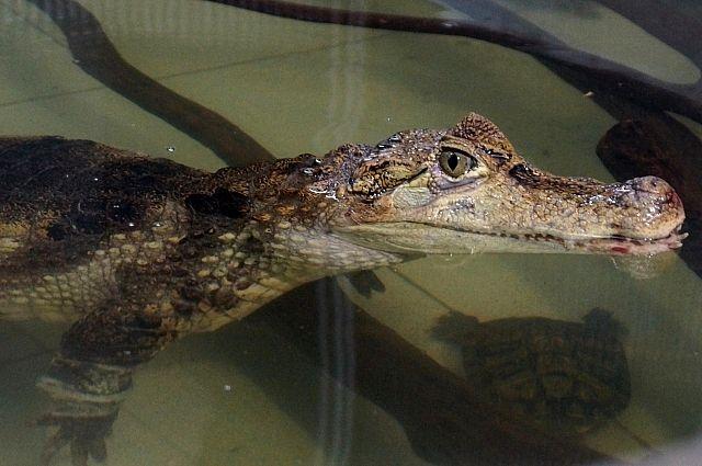 Крокодиловый кайман Тотоша в акватеррариуме