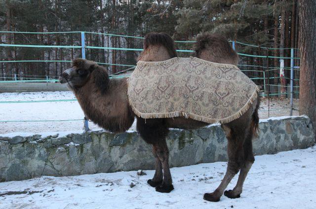 Верблюд Барсик