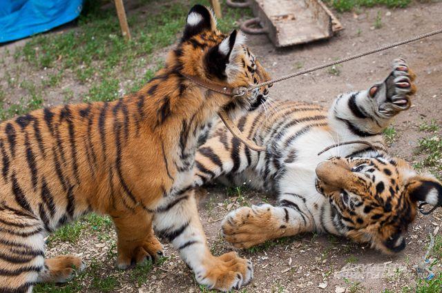 На трассе были зафиксированы три тигрёнка.