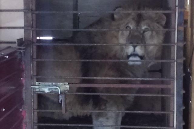 Льва везли в специальном ящике для транспортировки.