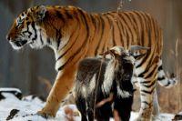 Тигр Амур и козёл Тимур.