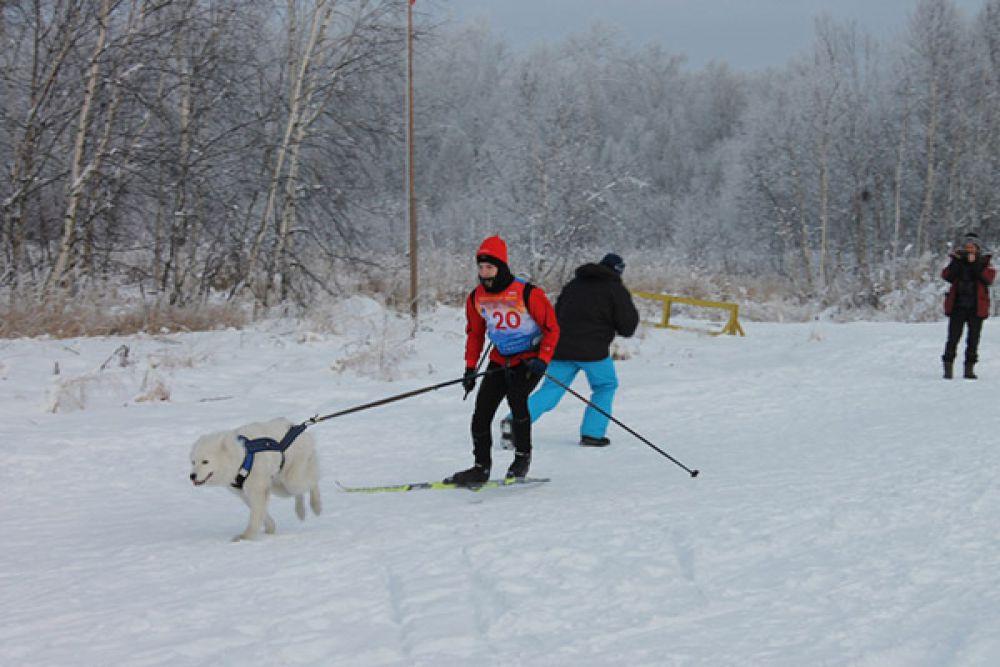 Скиджоринг - дисциплина ездового спорта, в которой лыжник-гонщик передвигается свободным стилем по лыжной дистанции, при этом спортсмен связан с одной или двумя собаками специальным шнуром.