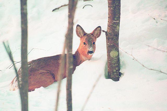 Большой снег сулит зверям голод и гибель.