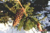 Ёлки к Новому году рубят в лесничествах в Новосибирской области.