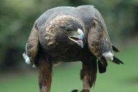 Беркут – одна из самых крупных птиц России.