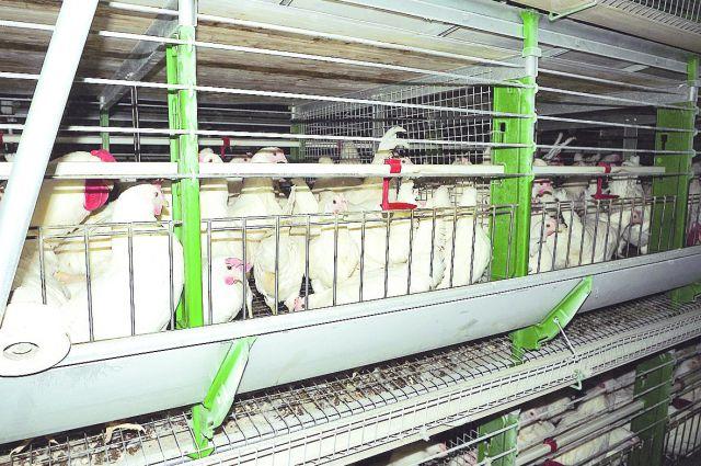 Омские куры содержатся в современных птичниках.