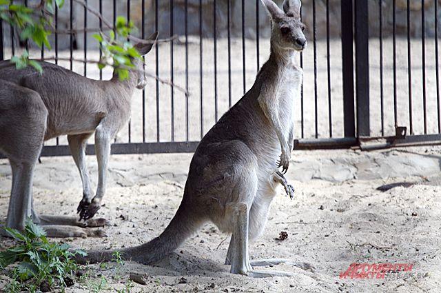 Белый детёныш родился у кенгуру.