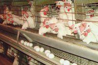 Производство яиц в области не достигает показателей советского периода: вместо 17 птицефабрик существует только четыре.