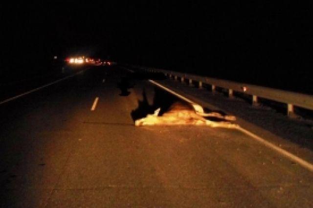 Аварии с лосями, увы, не редкость в России.