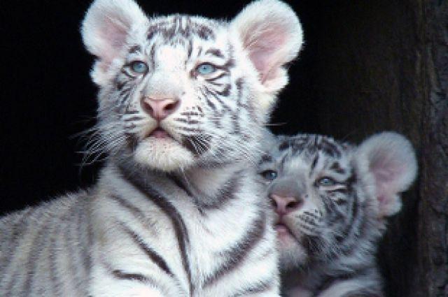 Бенгальские тигрята вкрымском зоопарке погибли от«кошачьей чумки»