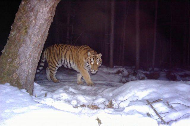 Тигр Заветный