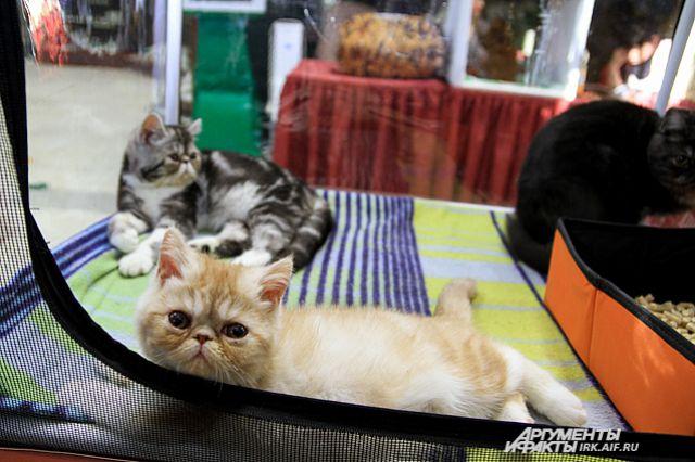 Новосибирец побоялся, что кота не пропустят в другую страну без ветеринарных документов