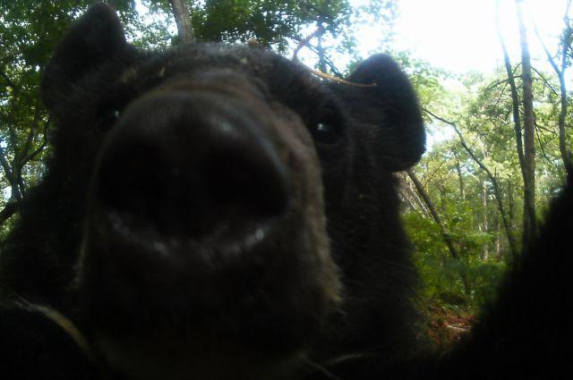 Селфи медведя-вора.