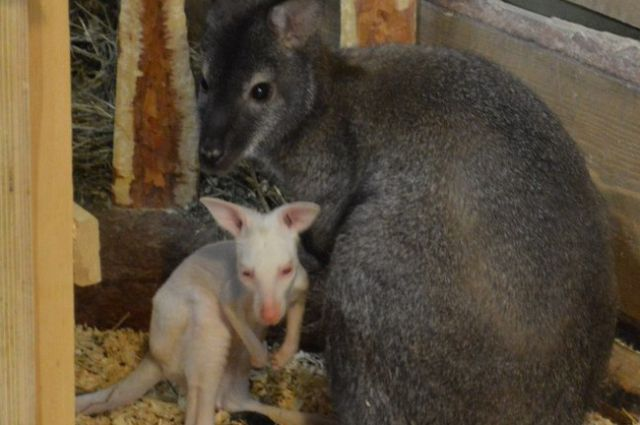 Имя белому кенгуренку придумают новосибирцы