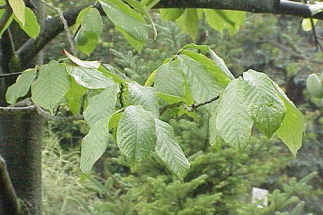 Азимина выращивание в средней полосе 44