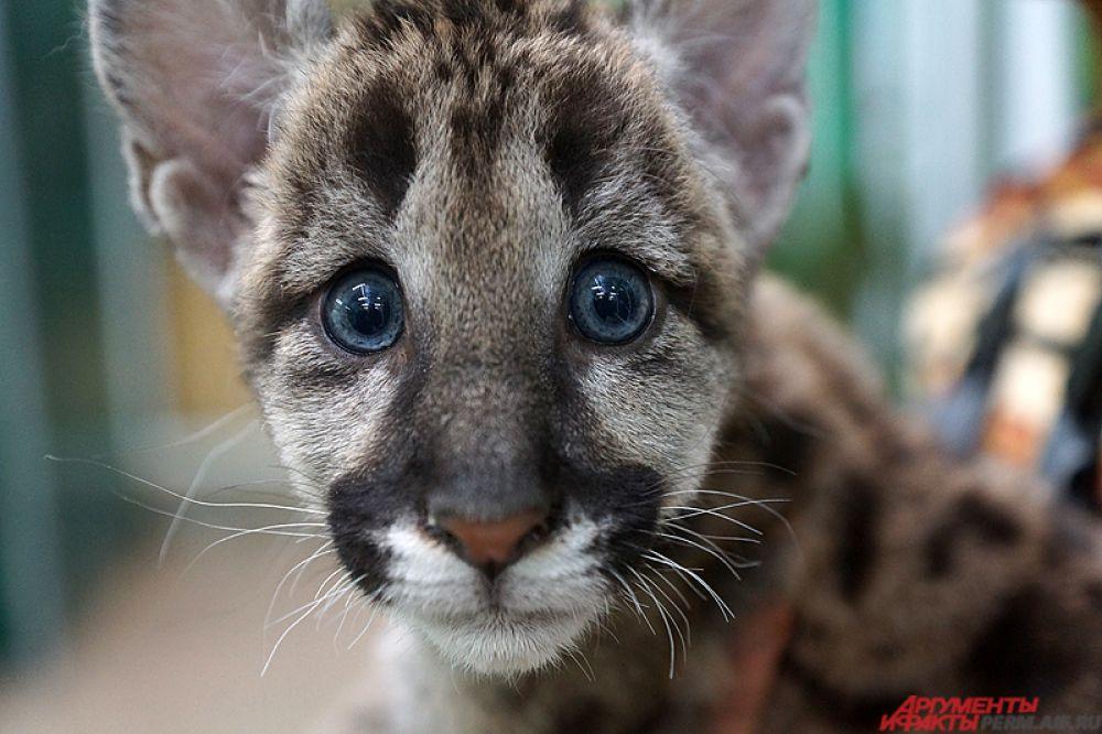 Пума Мия прожила с сотрудницей пермского зоопарка Екатериной Мельников почти два месяца. От животного отказалась мама и пермячка взяла домой малышку. Эта история стала одной из самых «мимимишных» в этом году.