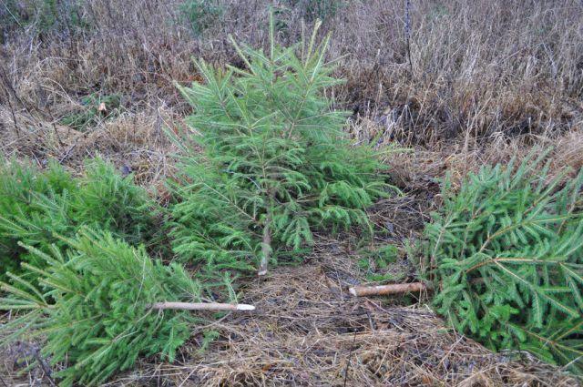 Более 70 молодых елок незаконно срубили в калининградском лесу.