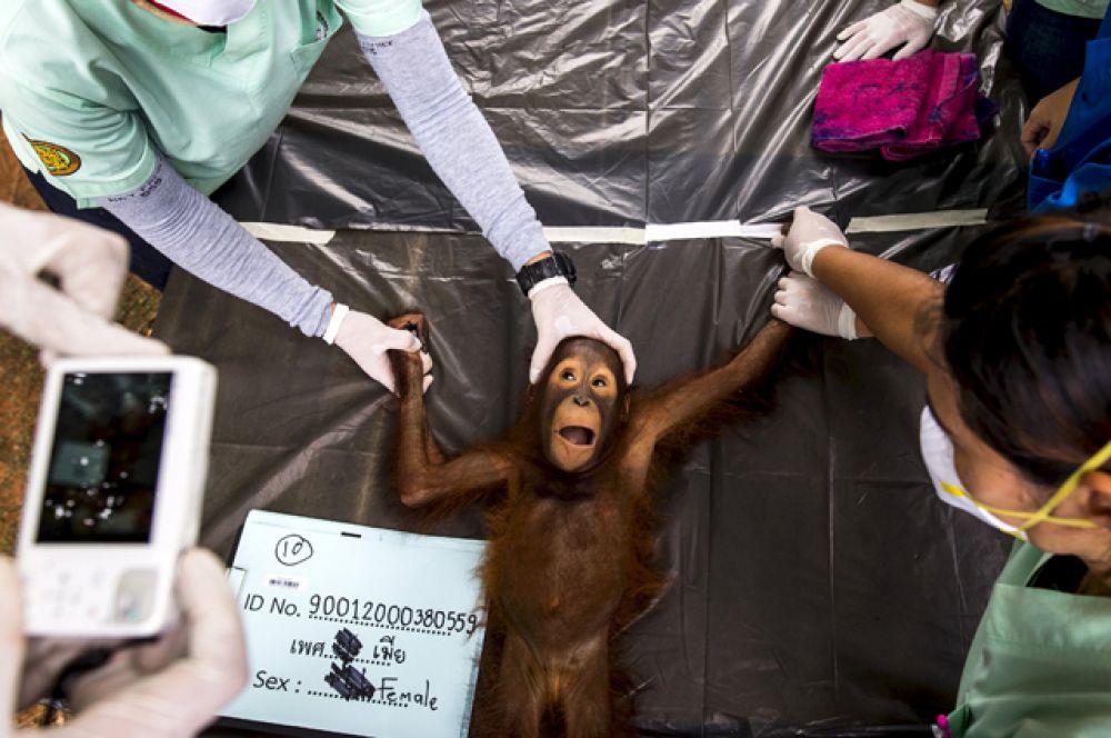 Тайский ветеринар делает снимок 2-летнего орангутанга во время медицинского осмотра, август 2015.