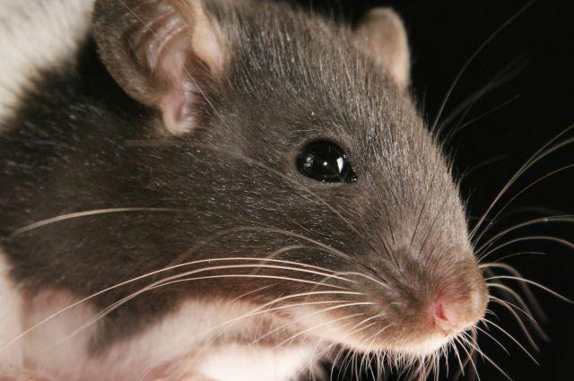 чем обработать крысу от паразитов