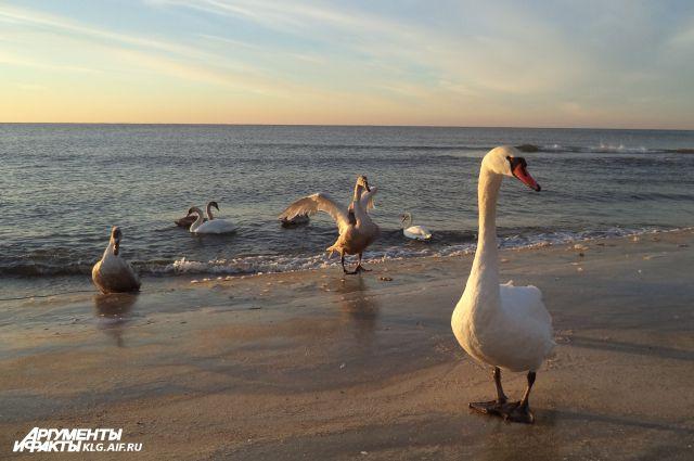 Лебеди на берегу Балтийского моря.