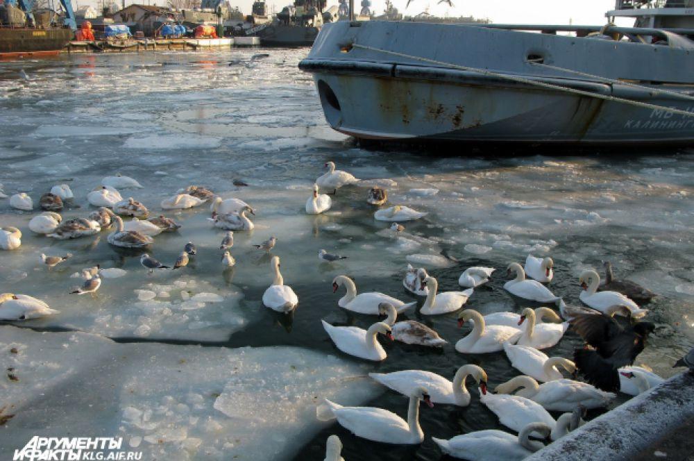 Лебеди плавают среди военных кораблей.