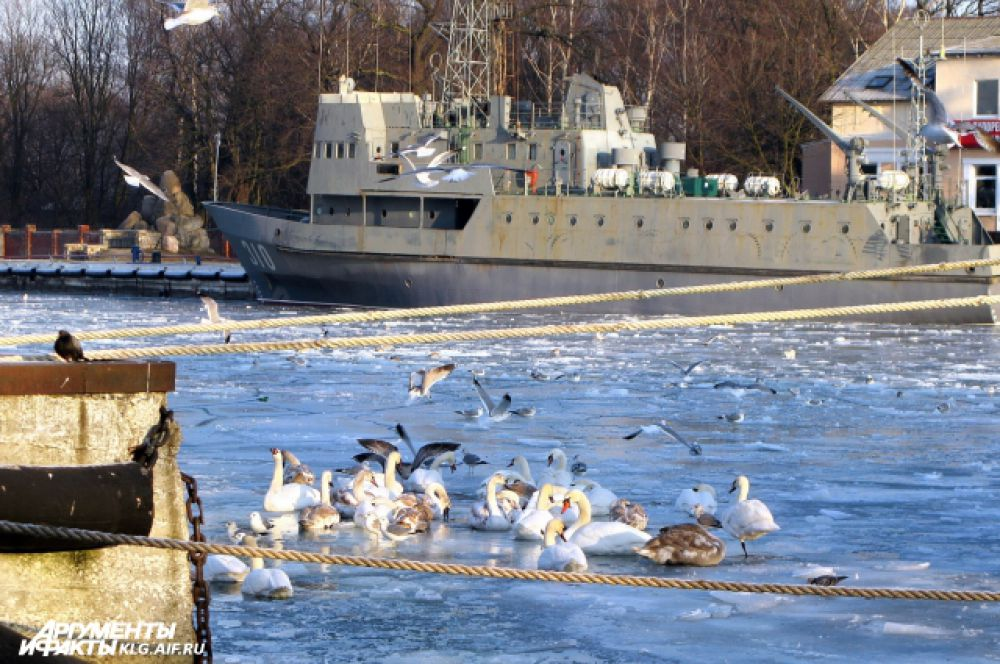 Лебеди в Балтийске жмутся к пристани.