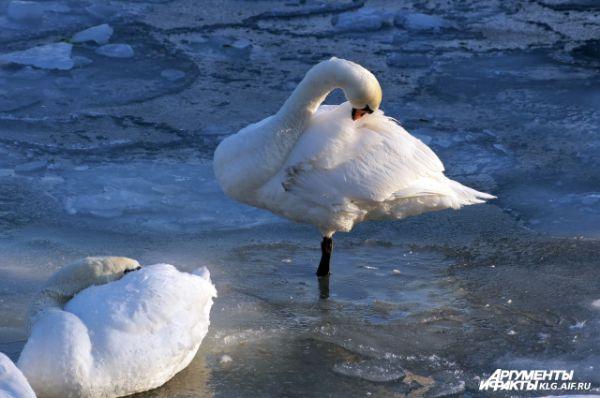 Лебеди в Балтийске.