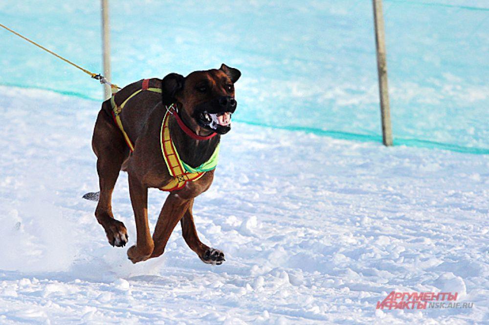 В забеге участвовали не только привычные всем хаски, лайки и самоеды, но и другие породы ездовых собак.