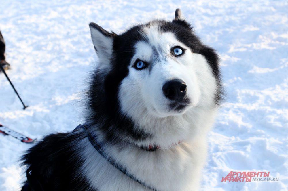 Хаски любят дух свободы и сохранили многие волчьи привычки.