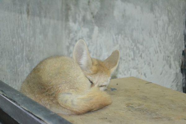 Ушастая лиса-фенек - житель пустыни.