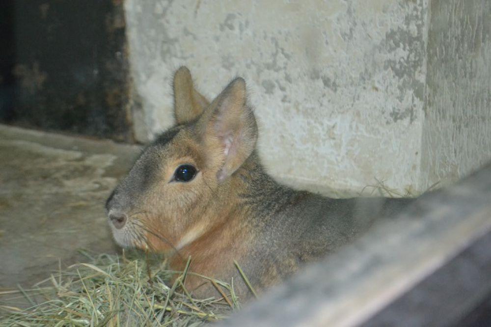 Ближайшие родственники патагонской мары - морские свинки.