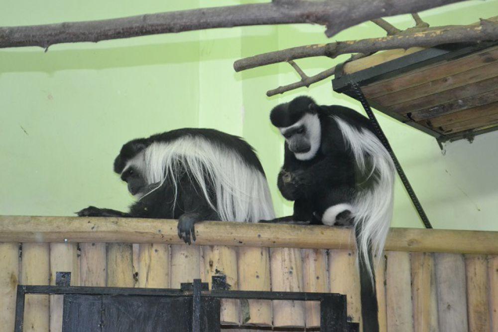 Колобусов называют еще толстотелыми обезьянами. Наши колобусы стройные!