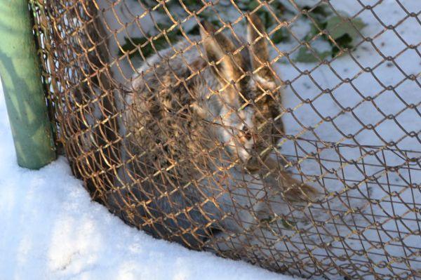 Заяц-русак тоже не боится холода.