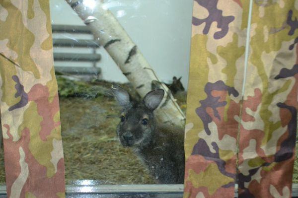 Чтобы не тревожить маленьких кенгурят, стекло вольера прикрывают жалюзи.