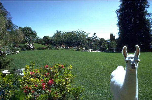 Сад и его «специальный гость» - лама. Это один из немногих особняков в Лос-Анджелесе, имеющих лицензию на создание собственного зверинца.