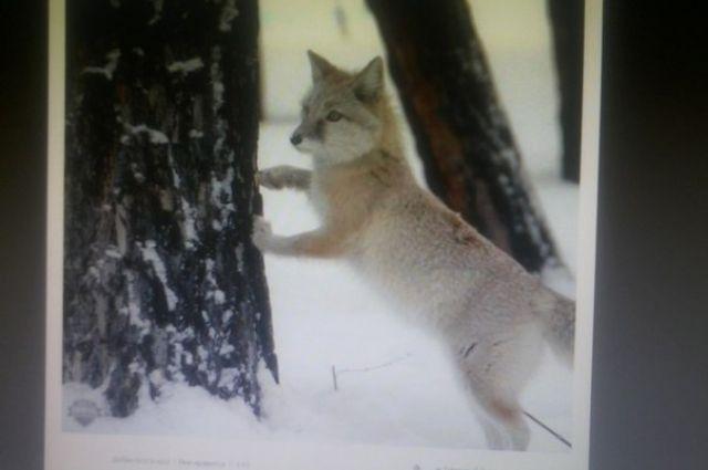 Пропавшую ручную лису видели многие, но поймать никто не может
