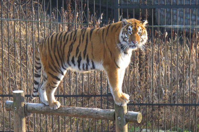 Тигрица Таня тоже будет отмечать именины.