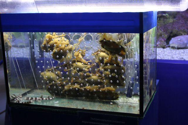 Сегодня в своеобразном акульем инкубаторе, установленном в аквариальном зале музея, можно наблюдать за процессом развития и роста сразу шести акулят. Эти яйца с эмбрионами любвеобильные акулы отложили в первых числах нового года, и в конце весны  зубастые малыши должны «вылупиться».