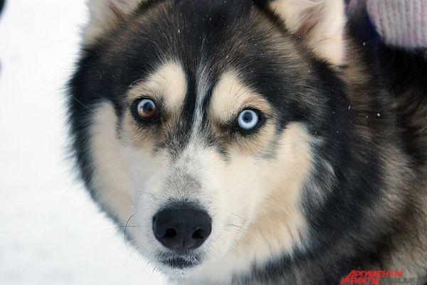 Главное герои двух дней - милые собаки породы хаски.