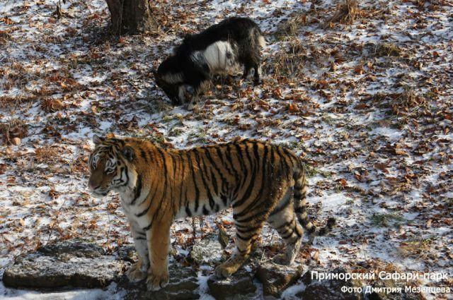 Пока бушевала стихия, тигр Амур и козёл Тимур урывались в одном убежище.