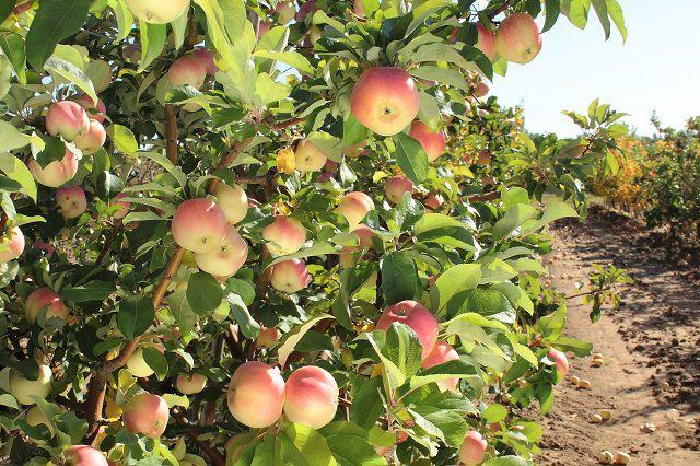 Крупную партию яблок раздавили на омском полигоне.