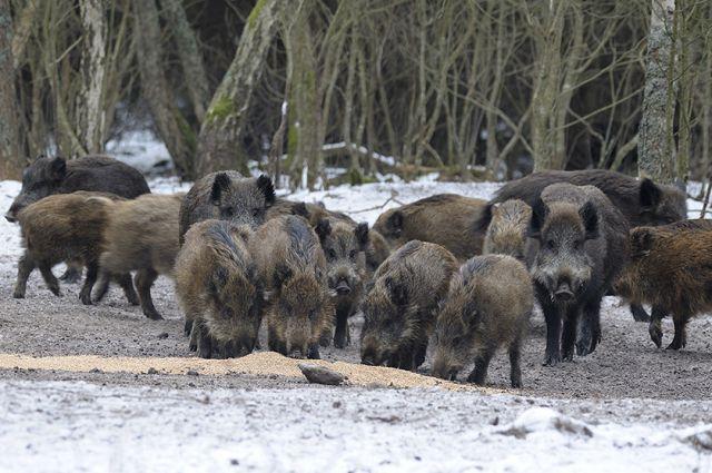 Сотрудник национального парка – государственный инспектор по охране окружающей среды Иван Балашов – становится для животных долгожданным кормильцем: они ему доверяют и выбегают навстречу на шум двигателя его автомобиля.
