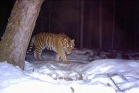 В начале исследования специалисты нашли двухдневный след леопарда.