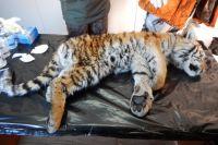Специалисты отмечают, что тигрёнок находится в тяжёлом состоянии.
